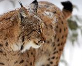 Vahşi lynx — Stok fotoğraf