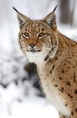 野生のオオヤマネコ — ストック写真