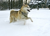 Husky in the park — Foto Stock