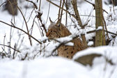 Winter Lynx — Stockfoto