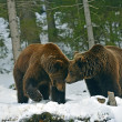 Brown bear in the woods in winter — Stock Photo #39922555