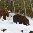 Brown bear in the woods in winter — Stock Photo #39922585