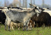A herd of sheep on a mountain pasture — Stock Photo