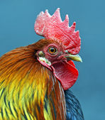 Portrait pet rooster on the farm — Stock Photo