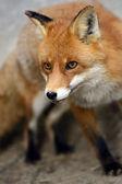 Fox portrait in natural habitat — Stock Photo