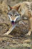 Gray Wolf in the woods — Stock Photo