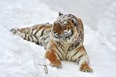Amur Tiger — Stok fotoğraf