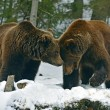 Brown bear in the woods in winter — Stock Photo #40456891