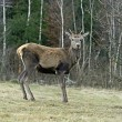 Red deer — Stock Photo #40457083
