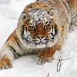 Stock Photo: Amur Tiger