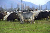 Herd of sheep ang goats — Stock Photo
