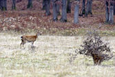 Spotted deer — Stock Photo