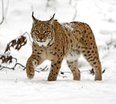 Winter Lynx — Foto de Stock
