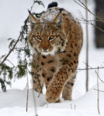 Lince selvagem — Foto Stock