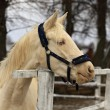 Horse - albino — Stock Photo #40948099