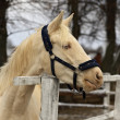 Stock Photo: Horse - albino