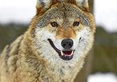 灰色オオカミ — ストック写真