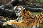 Tigre dell'Amur — Foto Stock