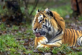 Amur Tiger in the summer — Stock Photo