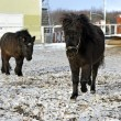 Stock Photo: Black pony in winter