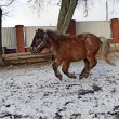 Stock Photo: Portrait of pony in winter