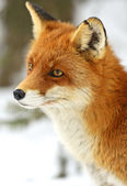 Portrait Foxes — Stock Photo