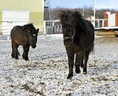 Black pony in the winter — Stock Photo