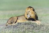 Masai Mara — Stock fotografie