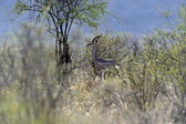 Grant's gazelle — Stock Photo
