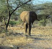 Elephant — Foto Stock