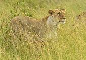 Masai Mara — Stockfoto
