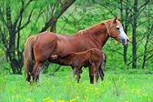 犊牛在牧场上的马 — 图库照片