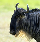 Wildebeest — Photo