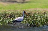 Yellow-Billed Stork — Stock Photo