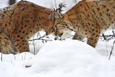 Winter Lynx — Stock Photo