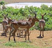 Gazelle Impala — Stock Photo