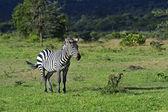 African Zebras — Stock Photo