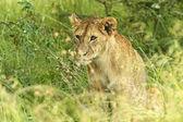 Lions Masai Mara — Stock Photo