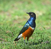Colorful superb starling — Stock Photo