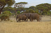 African elephants — Stock Photo