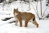 Lynx — Stockfoto