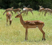 Impala gazelle — Stock Photo