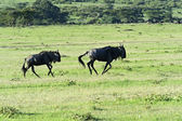 Wildebeest  — Stock Photo