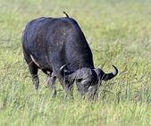 Buffaloes — Foto de Stock