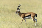 Grant Gazelle — Stock Photo