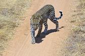 Leopar — Stok fotoğraf