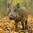 Wild boar in the forest in autumn — Stock Photo #45161703