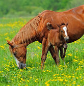 Horse with a calf on pasture — Stock Photo