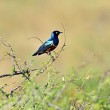Colorful superb starling — Stock Photo #45531475