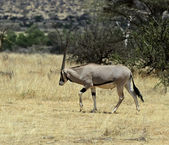 Oryx gazella — Stock Photo